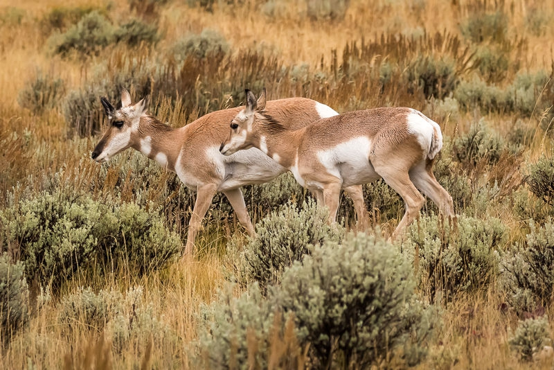 Pronghorn Group - Grand Teton NP