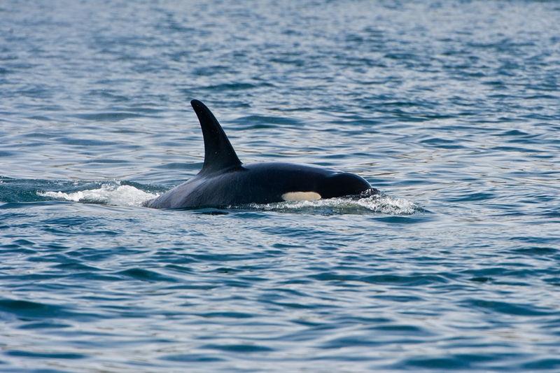 Orca 3SA4333