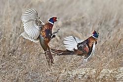 Scuffling pheasants /rwk48/