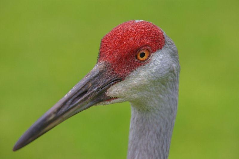 "Grus canadensis-Sandhill crane""Portrait"""