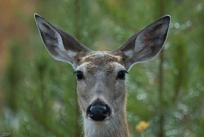 Deer (full-face)