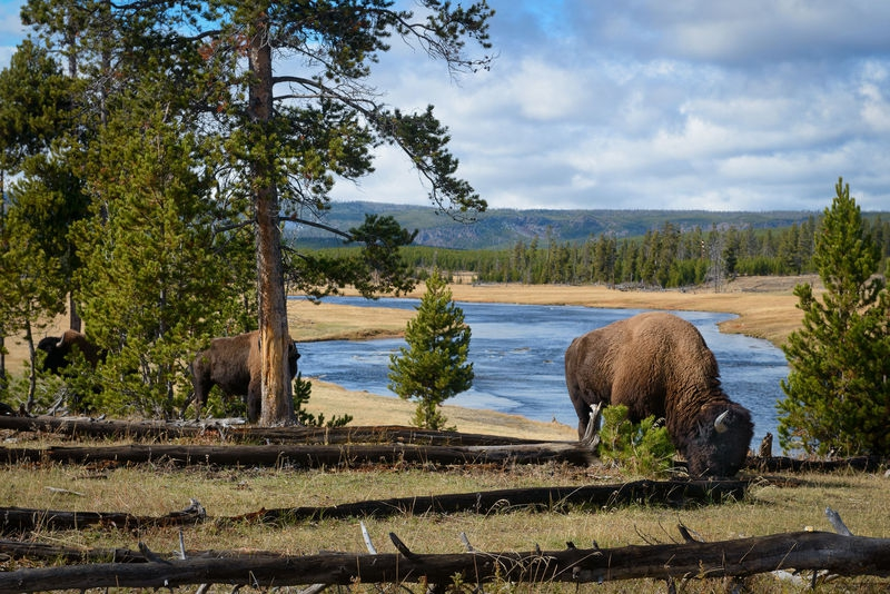 Bison on the Fountain Flat Drive