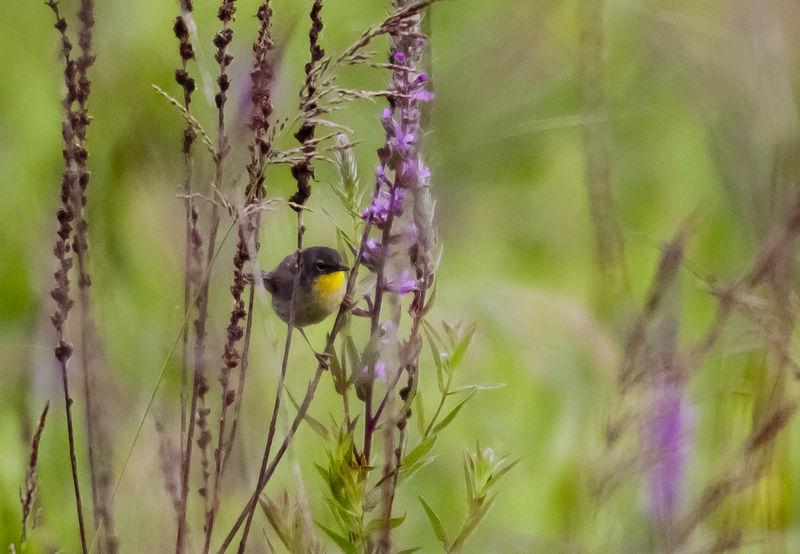 Prairie Warbler Peeking