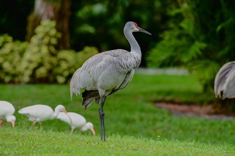 """Ruffled Feather's""-Grus canadensis&Eudocimus albus,Feeding."