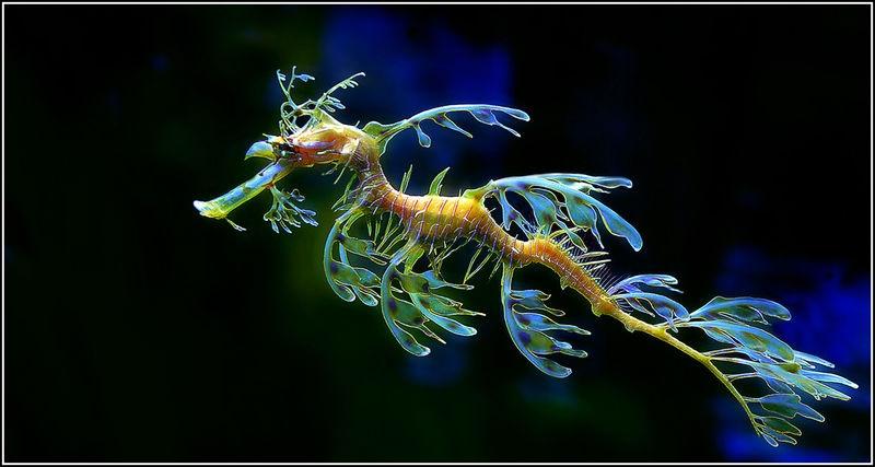 Australians Endangered Leafy Seadragon