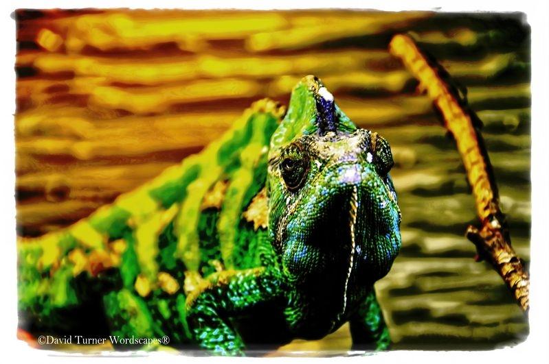 Female Jackson's Chameleon (Chamaeleo jacksonii)