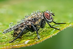 Wet Fly /pipco/