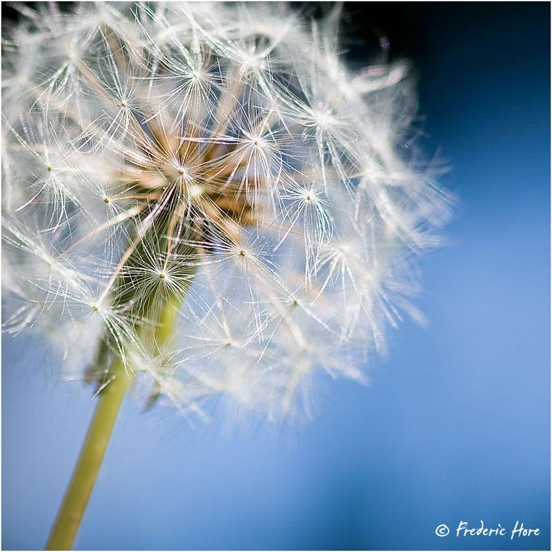 Dandelion in Seed (Taraxacum officinale)