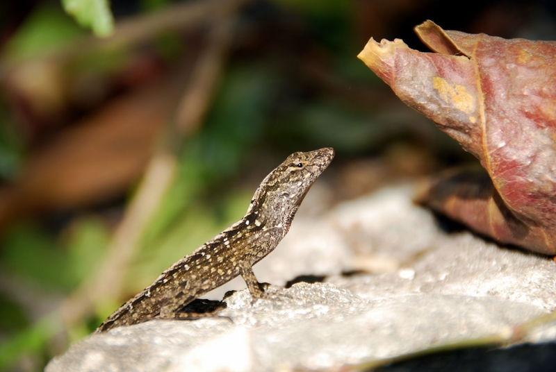 Florida Gecko