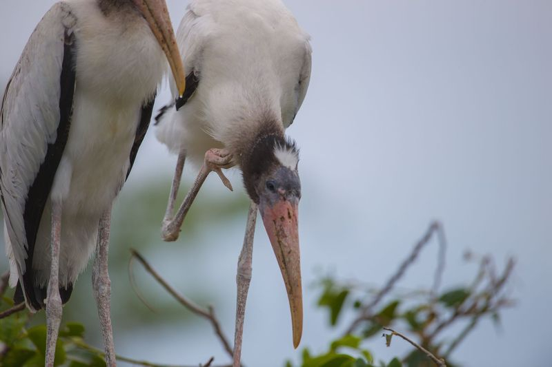 Mycteria americana-Wood Stork
