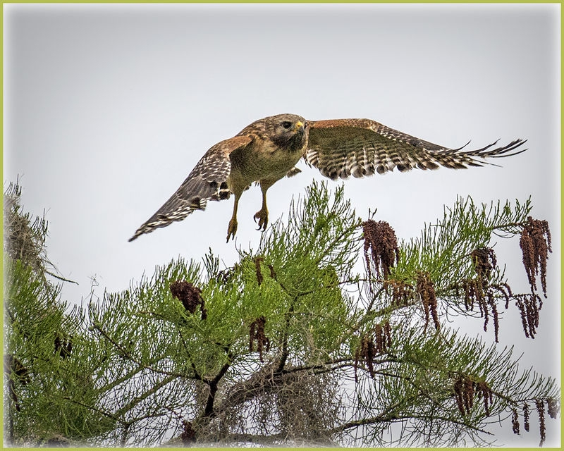 Okefenokee Hawk at take-off