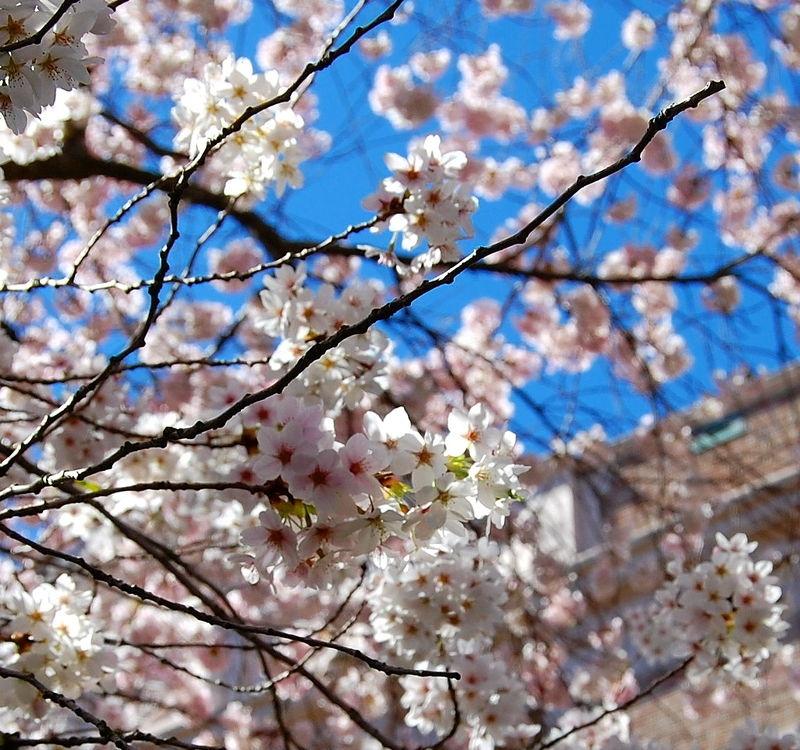 Cherry Blossoms #4
