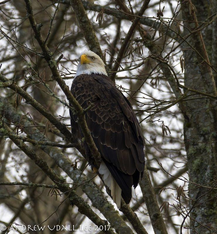 Alaskan Eagle in Washington State
