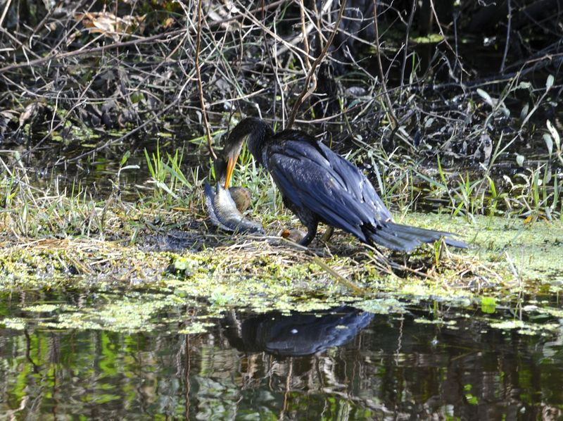 Anhinga Consuming A Fish