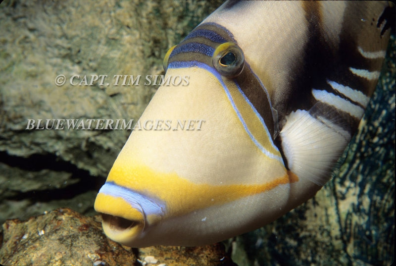 Humuhumu-Hawaiian Triggerfish