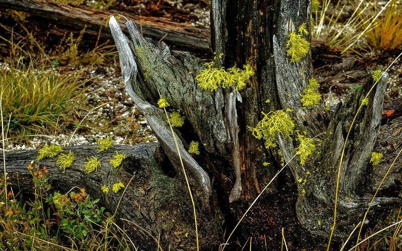 Stump with Green Lichen