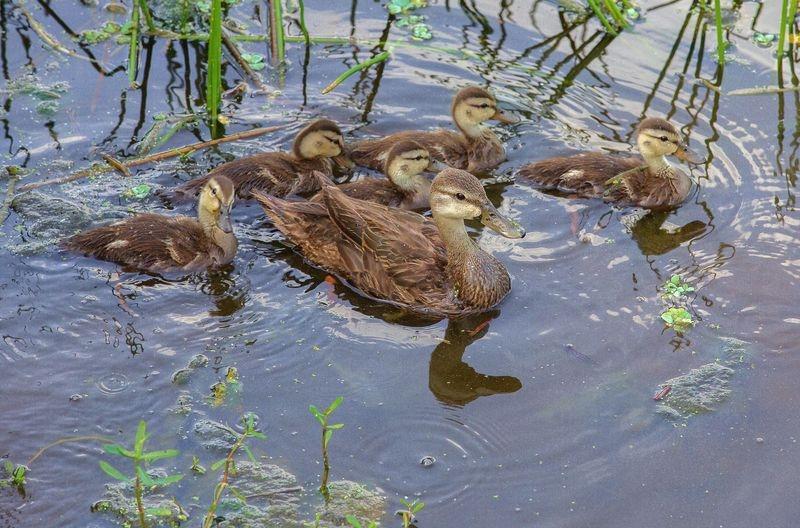 Anas fulvigula-Family,Florida Mottled Duck's