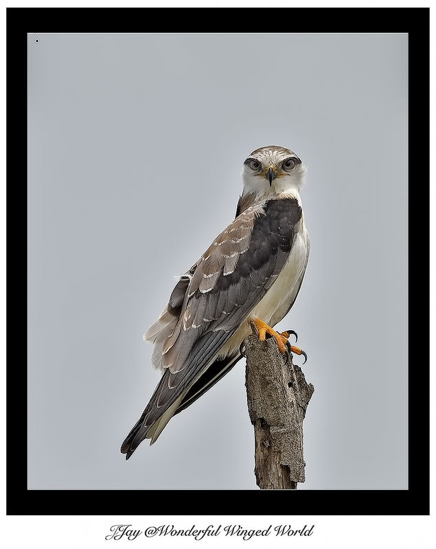 Juvenile Black Shouldered Kite