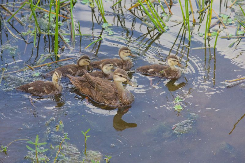 Anas fulvigula-Florida Mottled Ducks