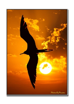 A Lucky sunset shot capture with my closed eyes of this frigate bird.
