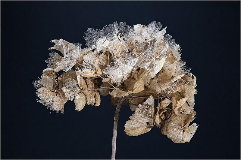 Dried Hydrangia