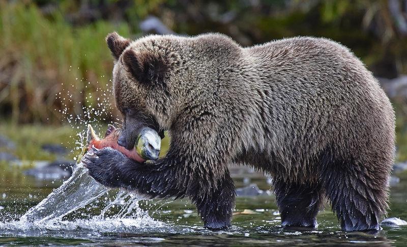 Salmon Run in Chilko River