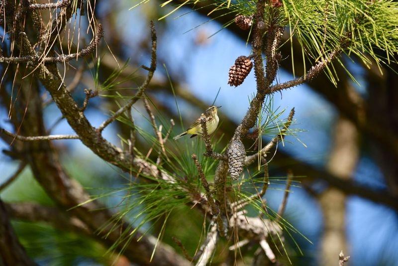 Setophaga palmarum,Palm warbler