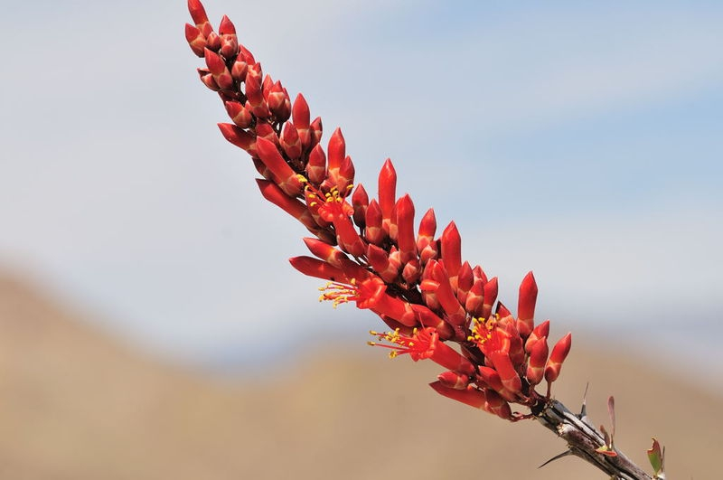 Wild Flowers in Anza Borrego State Park
