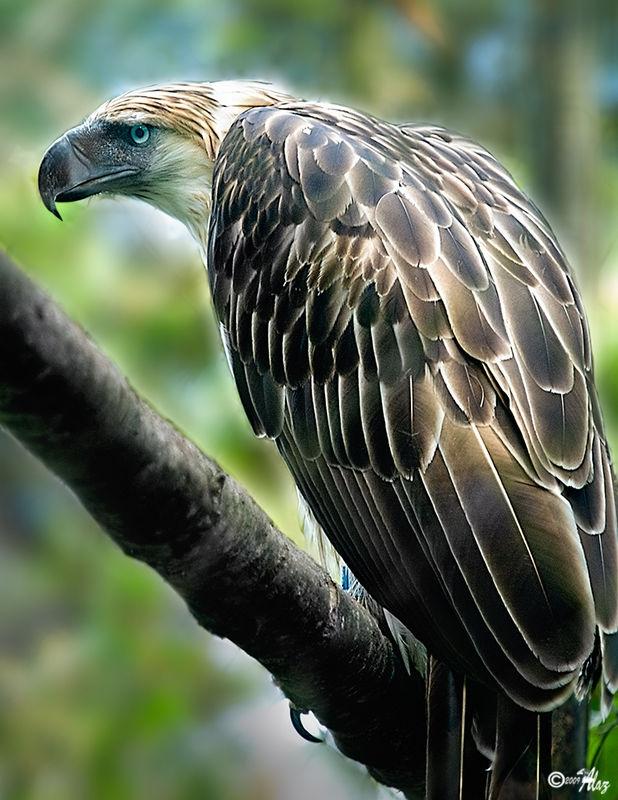 Monkey-eating Eagle