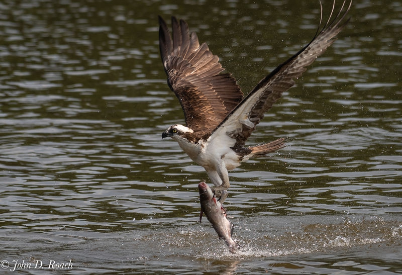 Osprey_Fishing_Sequence-10