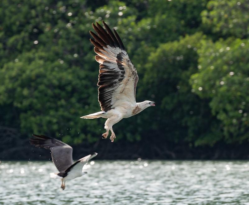 White Bellied Sea Eagle, Langkawi