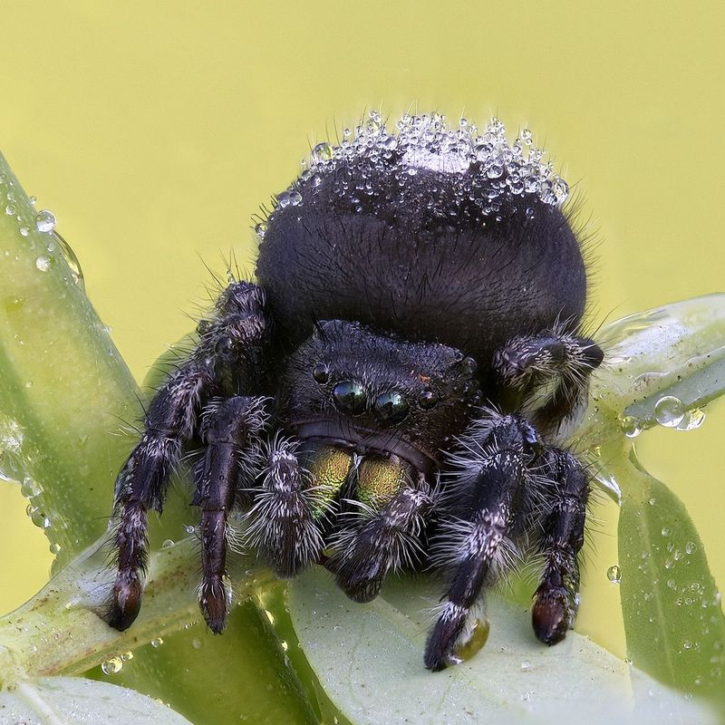 One Arm's Length - Black and White Jumping Spider