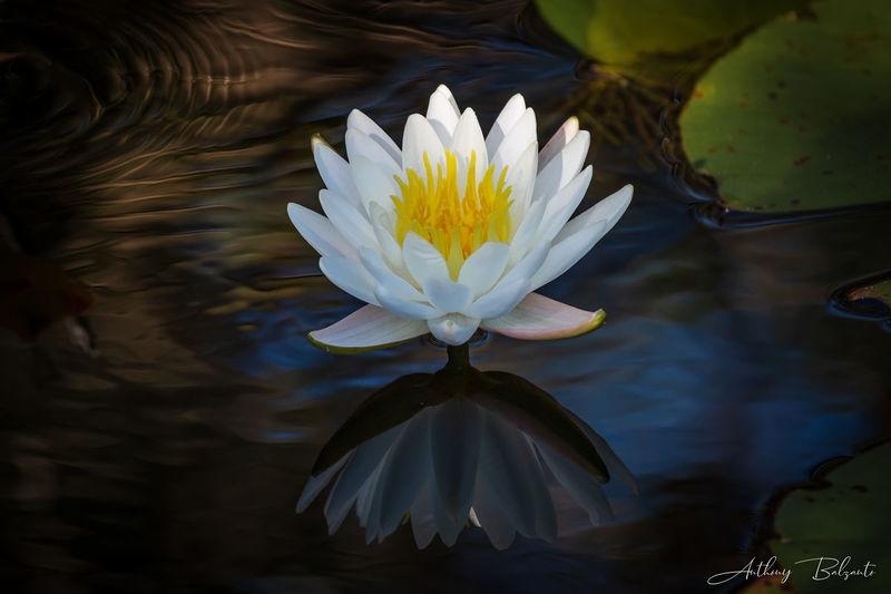 Florida Water Flower