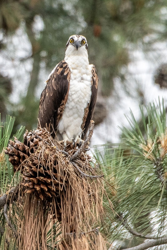 Osprey - those eyes