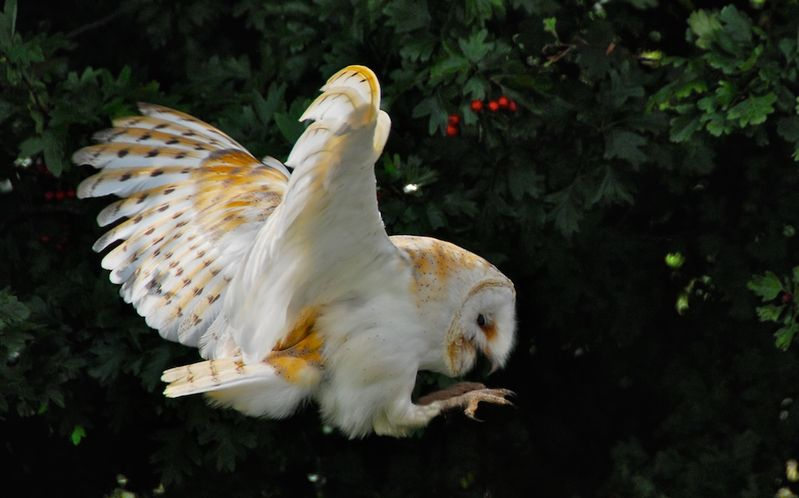 Barn Owl in silent attack