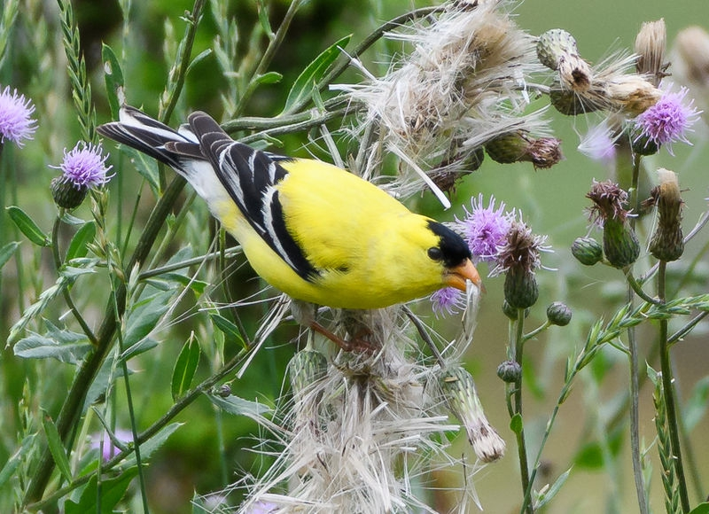 goldfinch4