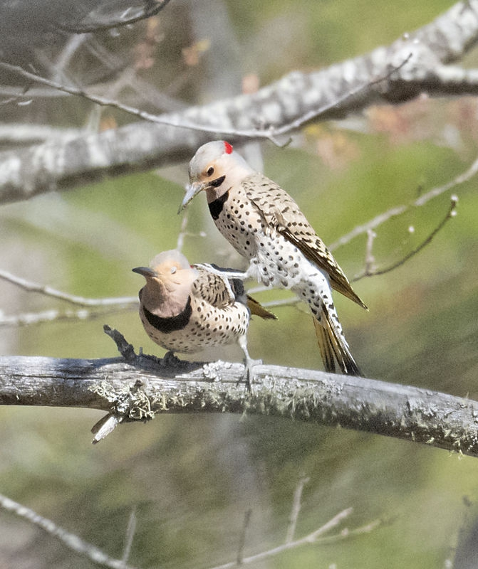 Northern Flicker Hanky-Panky
