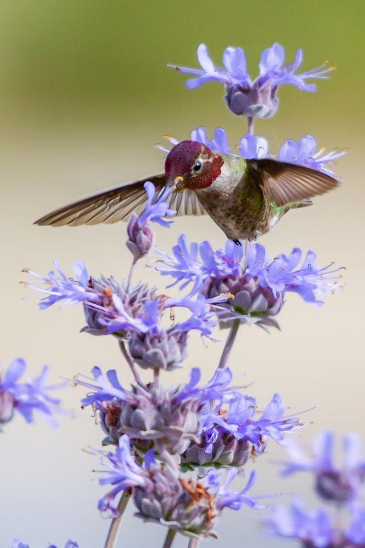 Anna's Hummingbird - Cosumnes River Preserve