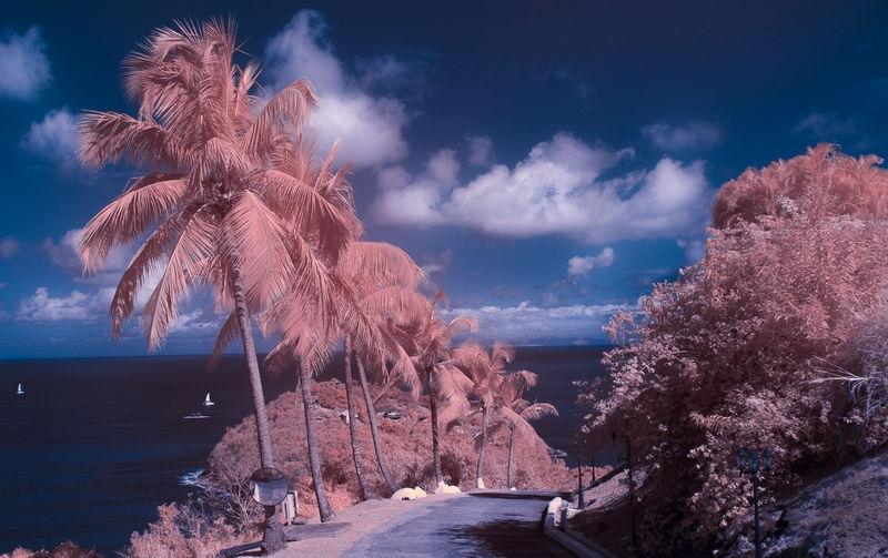 St Lucia Coconut Palms