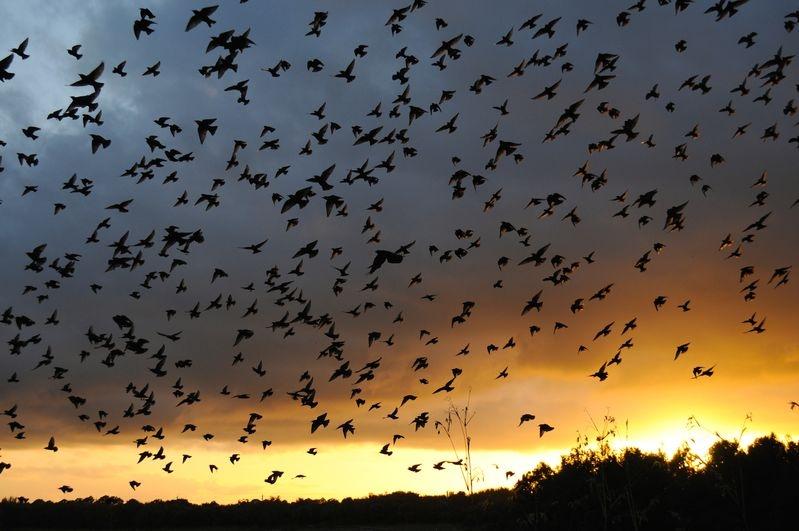 Starlings At Sundown