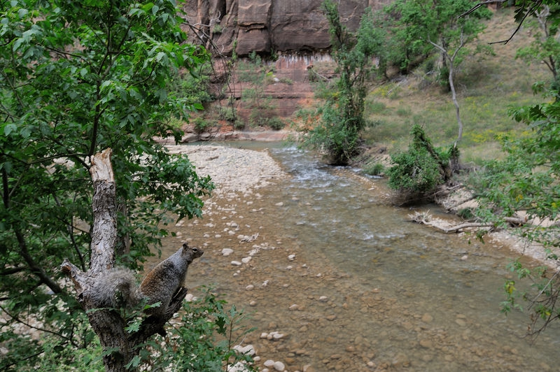 Squirrel over looking the Virgin river in the Zion Canyon, Zion National Pa