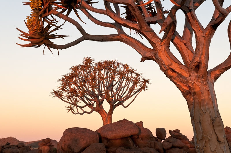 Quiver trees at dusk, Namibia