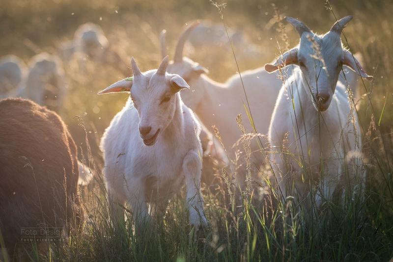 goat 0548