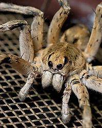 wolf spider (TEITZY)