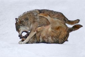Kämpfende Wölfe