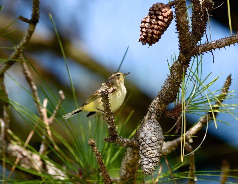 Setophaga palmarum-Palm warbler