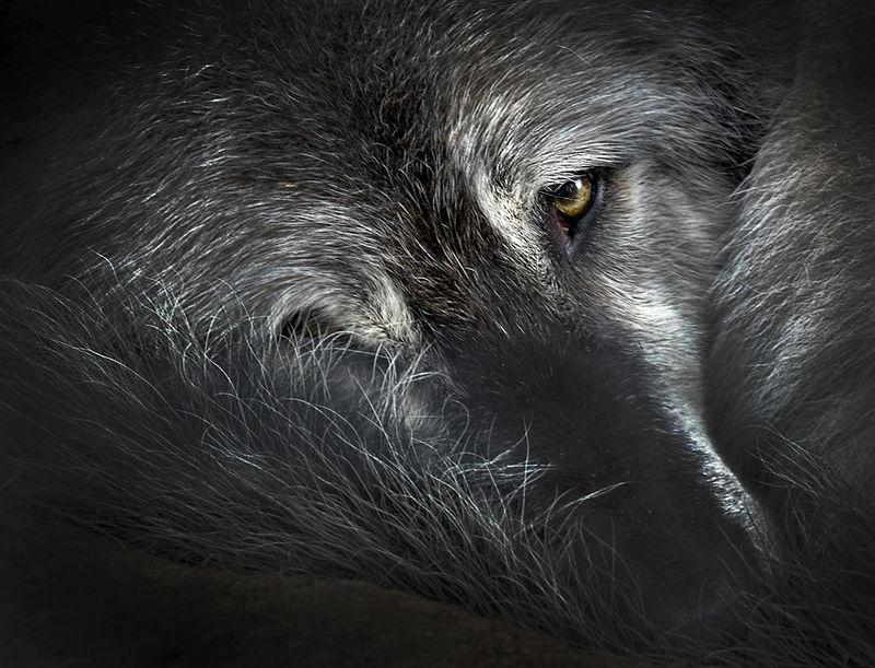 Wolf's Wary Eye