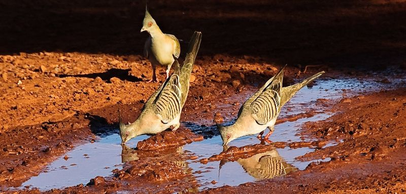Spinifex Pigeons at the stock yards