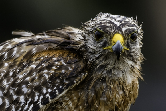 The wet Hawk