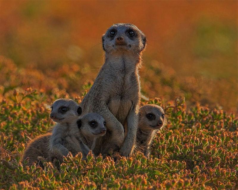 Backlit Meerkat Family